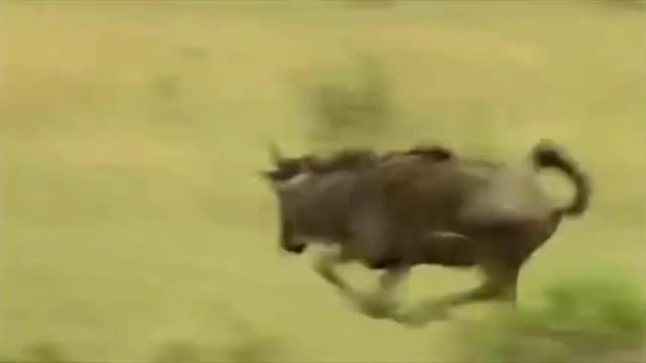 Giải trí - Clip: Báo đốm hạ gục 2 linh dương đầu bò trong vòng chưa đầy 1 phút