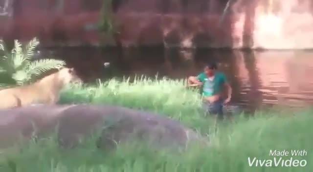 Giải trí - Clip: Say rượu, người đàn ông nhảy vào vườn thú 'cãi nhau' với sư tử