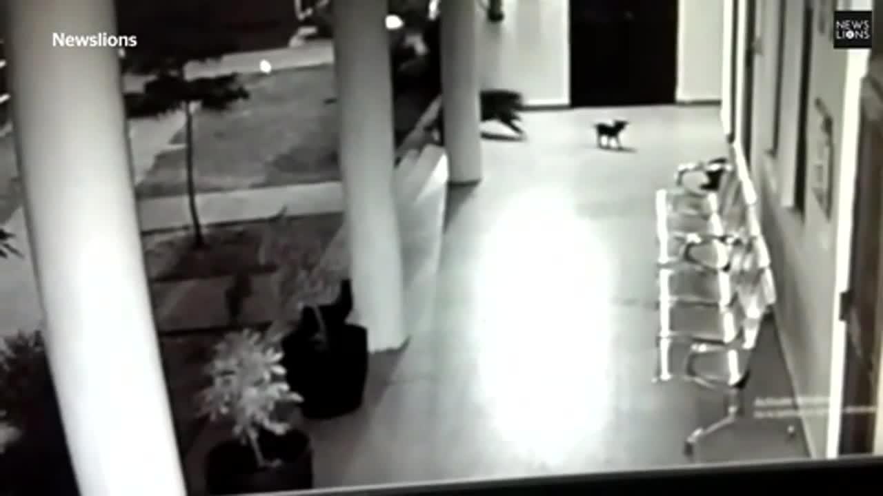 Giải trí - Clip: Chó mẹ lao ra tử chiến, giành lại con non từ miệng báo hoa mai