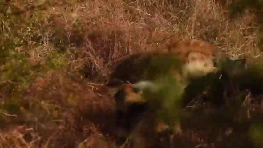 Giải trí - Clip: Linh cẩu đơn độc liều lĩnh mò vào địa bàn của chó hoang