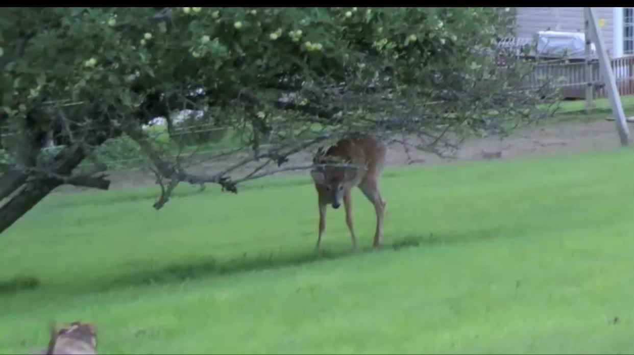 Giải trí - Clip: Hươu vào nhà dân ăn cỏ thì bắt gặp pitbull
