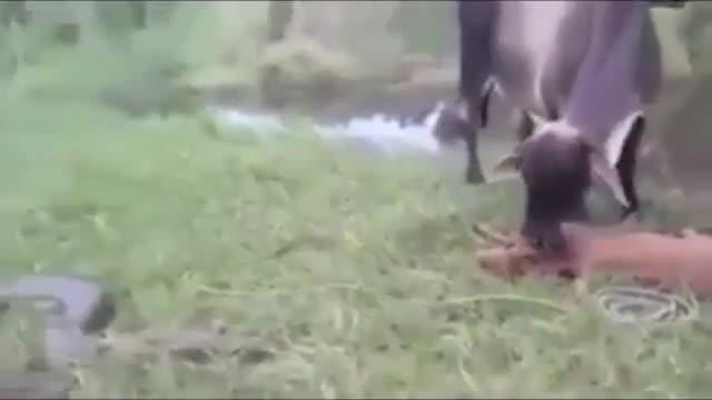 Giải trí - Clip: Bò mẹ nổi điên, tung đòn tấn công trăn khủng để trả thù cho con