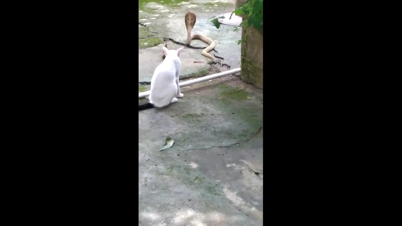 Mới- nóng - Clip: Dính 'chiêu độc' của mèo, rắn hổ mang bị tóm sau 1 giờ đối đầu