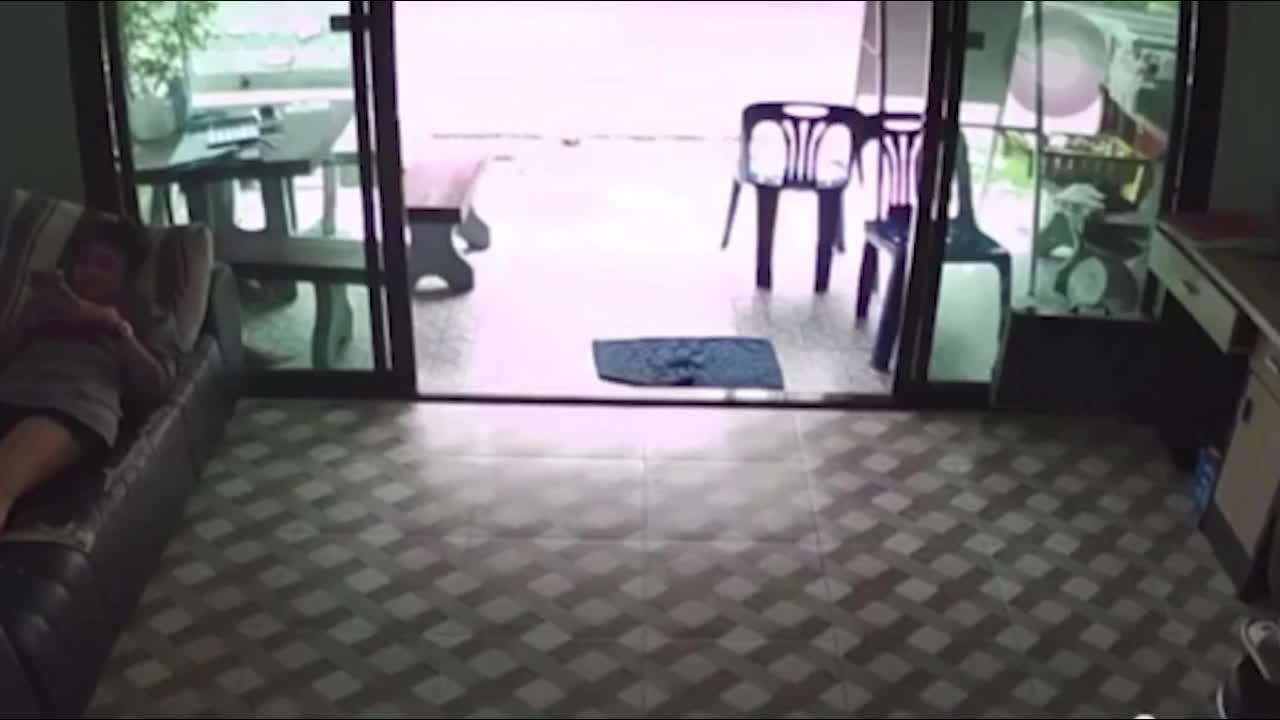Mới- nóng - Clip: Cô gái hốt hoảng khi thấy rắn hổ mang dài 2m bò vào phòng khách