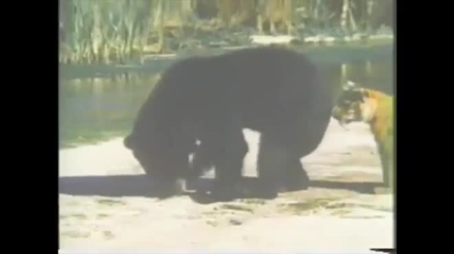 Giải trí - Clip: Bị 2 hổ dữ đánh hội đồng, gấu đen vội vàng tháo chạy để giữ mạng