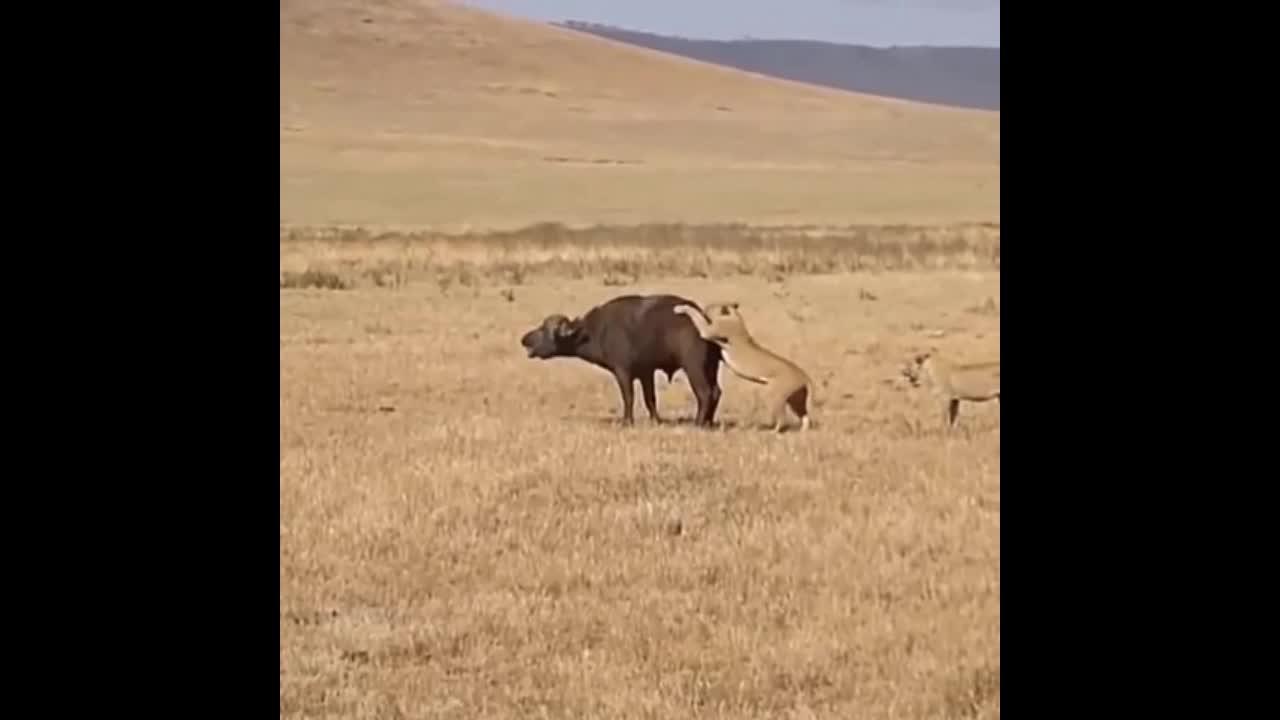 Giải trí - Clip: Trâu rừng bị sư tử mai phục, '500 anh em' kéo tới giải vây