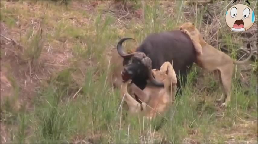 Giải trí - Clip: Trâu rừng tung đòn hiểm, húc xuyên nách sư tử và cái kết buồn