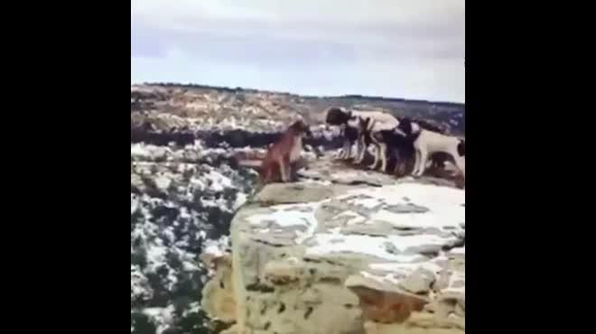 Giải trí - Clip: Bị đàn chó săn dồn vào đường cùng, báo sư tử ngã xuống vực sâu