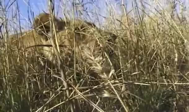 Giải trí - Clip: Sư tử bay người, dùng 'đòn judo' hạ gục ngựa vằn nhanh như chớp