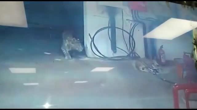 Giải trí - Clip: Mải tử chiến với báo hoa mai, chó mẹ bị bắt mất đàn con