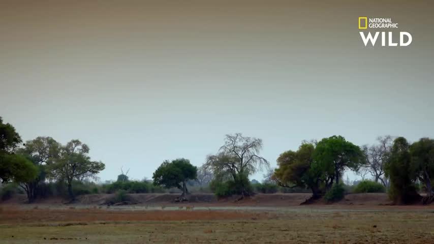 Giải trí - Clip: Trâu rừng dũng mãnh một mình đánh bại cả chục sư tử khát máu