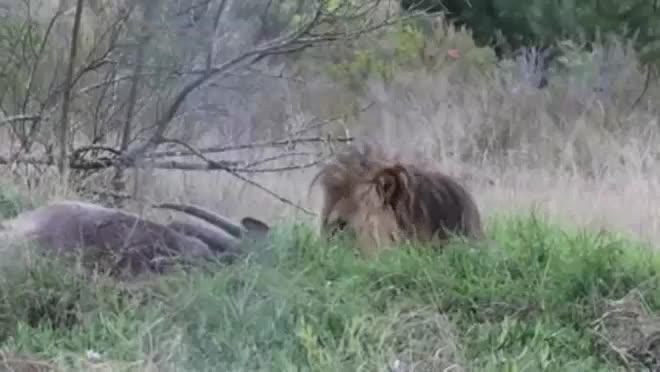 Giải trí - Clip: Bị làm phiền, sư tử đực giận dữ lao tới tấn công người quay phim