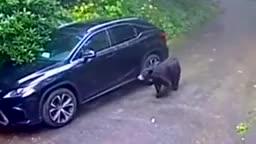 Mới- nóng - Clip: Gấu đen đột nhập vào Lexus khiến nữ tài xế hốt hoảng bỏ chạy