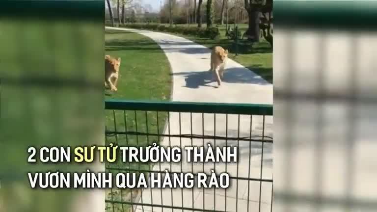 Giải trí - Clip: Hội ngộ sau 7 năm, đôi sư tử lao tới ôm hôn người phụ nữ