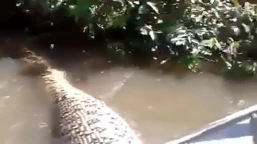 Giải trí - Clip: Người đàn ông dùng tay không bắt trăn 'khủng' trên sông Amazon